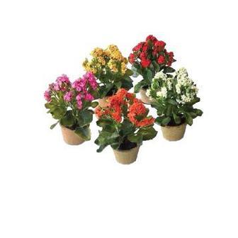 Квітка в горщику Каланхое