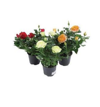 Квітка в горщику Троянда квітуча мікс