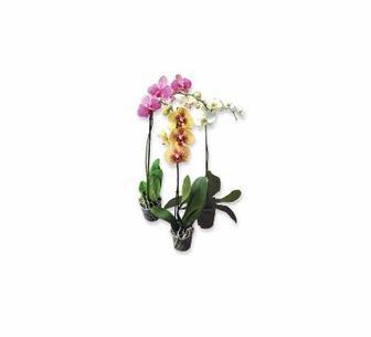 Фаленопсис мікс один стовбур 55 см